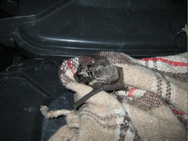 Tweekleurige vleermuis